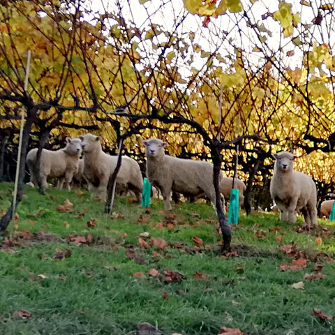 Sheep grazing at the sustainable Blackenbrook Vineyard, Nelson, New Zealand