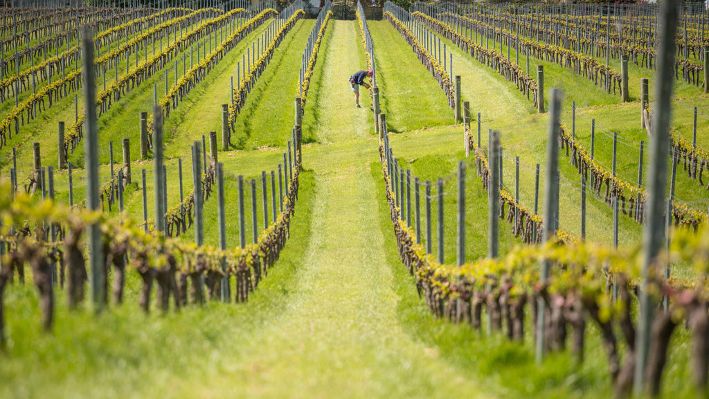 Mauricio Lloreda tending the award-winning vines at Nelson's Blackenbrook Vineyard