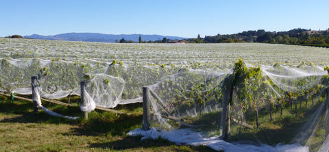 Late Summer at our Nelson Family Vineyard