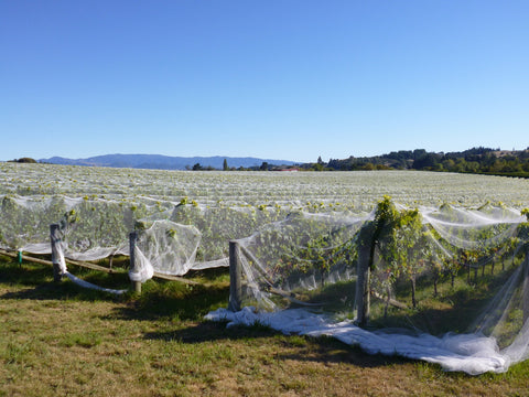 Bird-netting on award-winning Nelson Pinot Noir vineyard