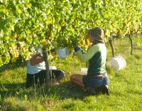 Grape Picking at our family vineyard in Nelson, New Zealand