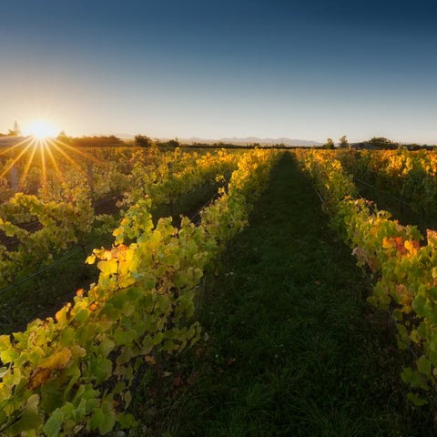 Greenhough Estate vineyard, Nelson, New Zealand