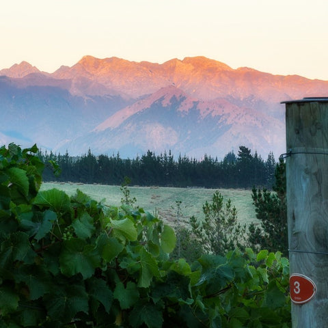 Nelson vineyard with Mt Arthur, Kahurangi National Park in the background