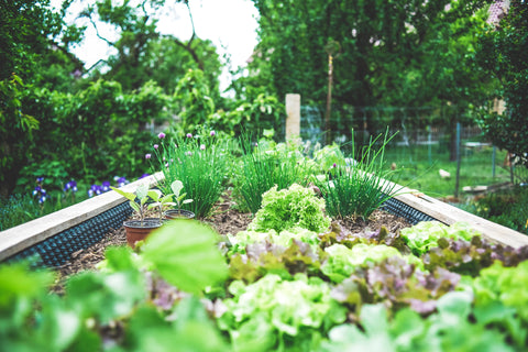 A school garden with rows of green vegetables.