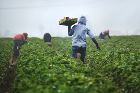 Farmers working to gather food in a field