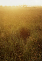 "huge photo: untitled (yellow grass) - 34"" x 49"""