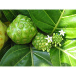 Noni - ( no shipping , store pick up or Home Delivery option only )-Herbal Plant-SK Nursery-SK Organic Farms
