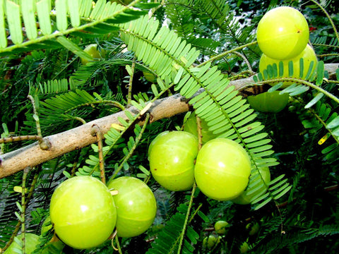 Amla - Forest-Fruit Plants-SK Nursery-SK Organic Farms