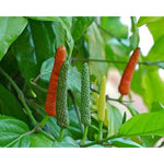 Long Pepper - ( no shipping , store pick up or Home Delivery option only )-Herbal Plant-SK Nursery-SK Organic Farms