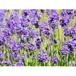 Lavender - ( no shipping , store pick up or Home Delivery option only )-Herbal Plant-SK Nursery-SK Organic Farms