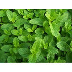 Spear mint - ( no shipping , store pick up or Home Delivery option only )-Herbal Plant-SK Nursery-SK Organic Farms