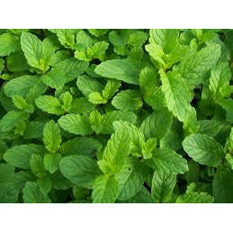 Spear mint Saplings - SK Organic Farms