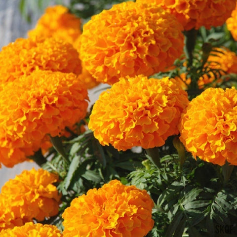 African Marigold F2 Orange-Seeds-Biocarve-SK Organic Farms