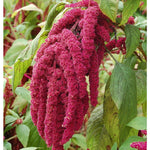 KGP- Amaranthus Love Lies Bleeding-Seeds-Biocarve-SK Organic Farms