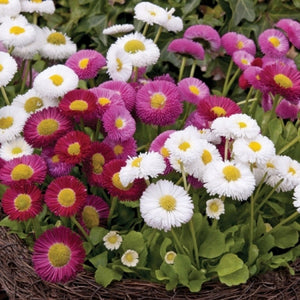 KGP- Bellis Monstrosa ( Daisy DBL Mix) - SK Organic Farms