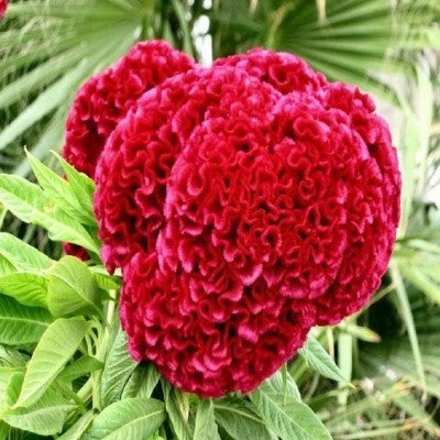 KGP- Celosia Cocks Comb Mix-Seeds-Biocarve-SK Organic Farms