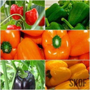 Capsicum Seeds - Pack of 5 - SK Organic Farms