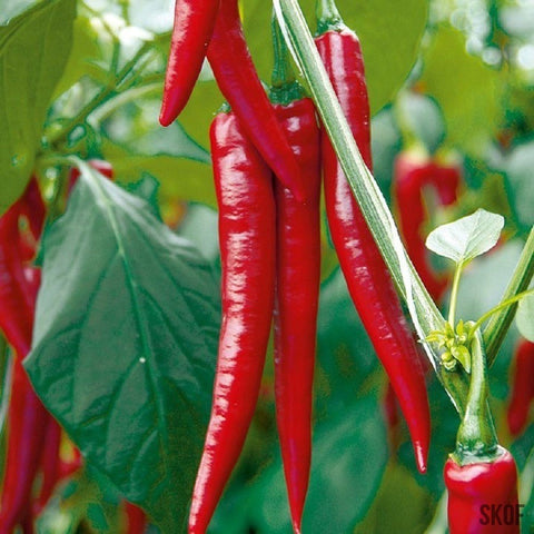 Chilli Hot Pepper-Seeds-Biocarve-SK Organic Farms