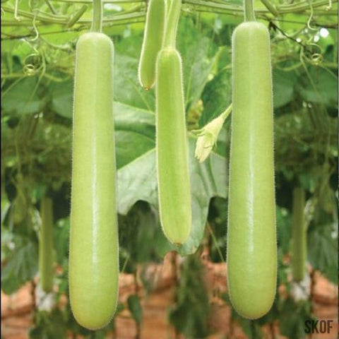 Bottle Gourd Long-Seeds-Biocarve-SK Organic Farms