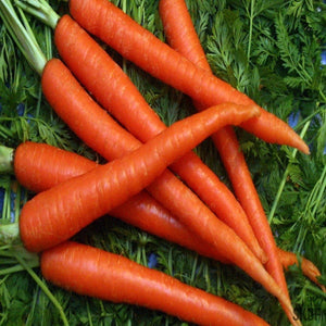 Carrot Orange Nenthus - SK Organic Farms