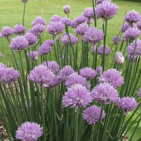 HERB - Chives 2 gm-Herbal Seeds-Biocarve-SK Organic Farms