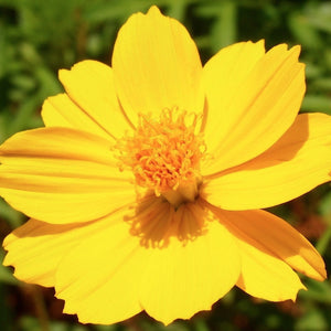 KGP- Cosmos Bright Light - SK Organic Farms