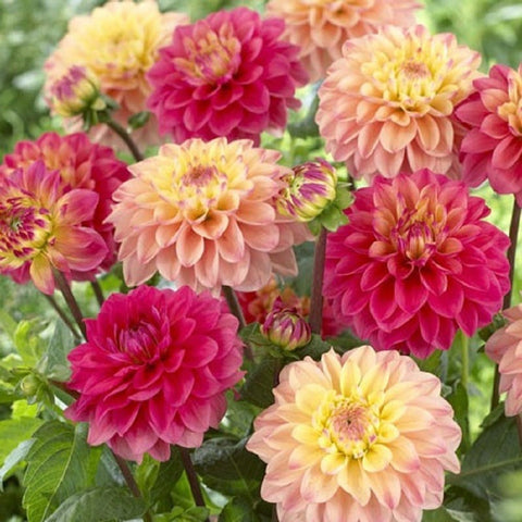 KGP- Dahlia Figaro Type Mix-Seeds-Biocarve-SK Organic Farms