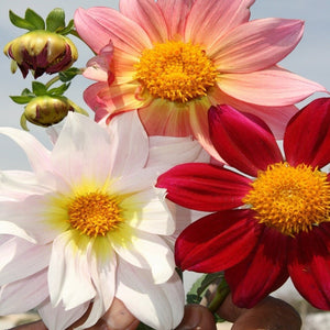 Dahlia Top Star Mix - SK Organic Farms