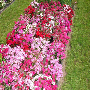 Dianthus Baby Doll Mix - SK Organic Farms