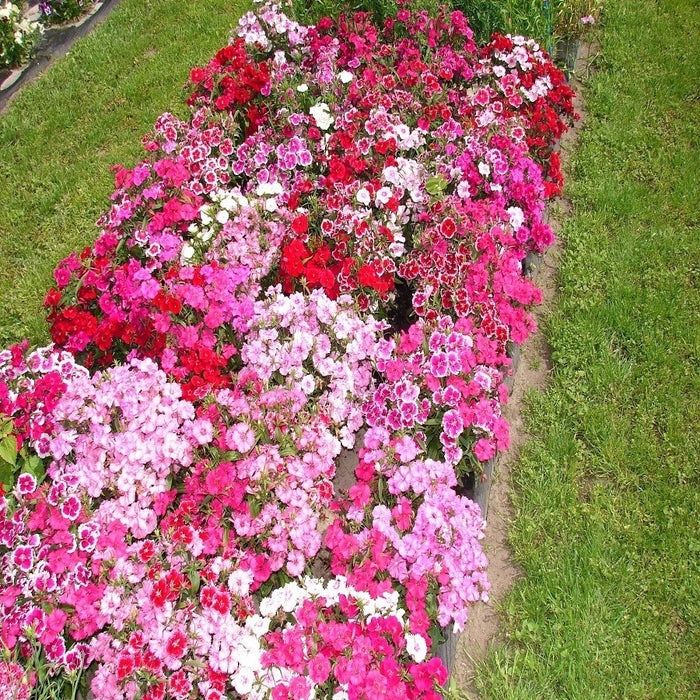 Dianthus Baby Doll Mix