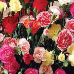 KGP- Dianthus Chaubaud Mix (Carnation)-Seeds-Biocarve-SK Organic Farms
