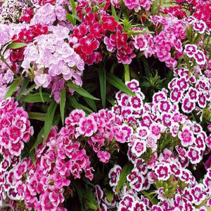 Dianthus Sweet Williams - SK Organic Farms