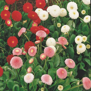 KGP- Bellis ( Daisy Pomponette Mix) - SK Organic Farms