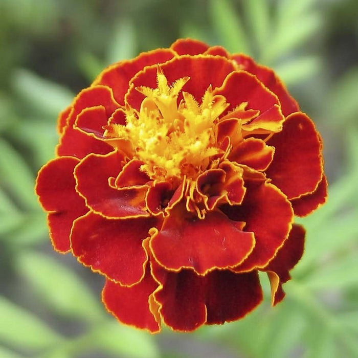 French Marigold Scarlet Red