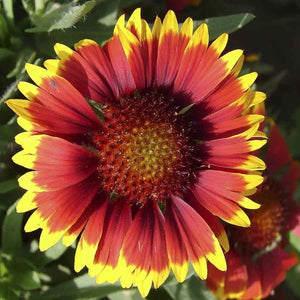 KGP- Gaillardia Mix - SK Organic Farms