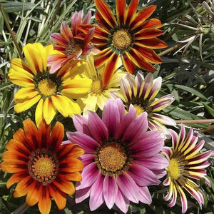 Gazania Sunshine Hybrids Mix - SK Organic Farms