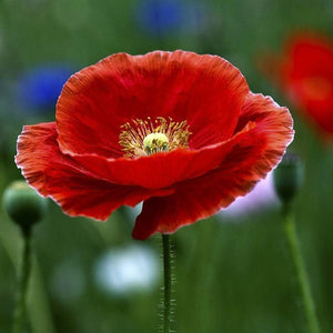 KGP - Indian Shirley Poppy - SK Organic Farms