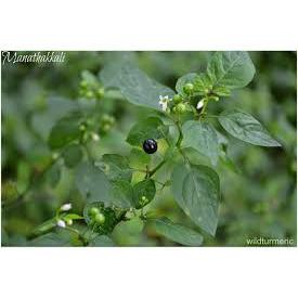 Black nightshade-Bulk Seeds-SKOF-1 kg-SK Organic Farms