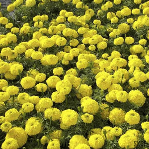 African Marigold F2 Yellow - SK Organic Farms