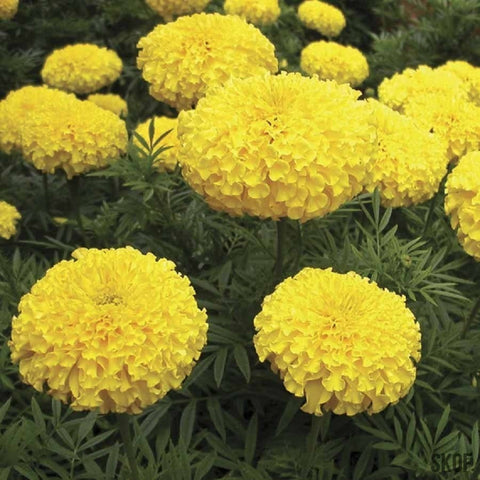 African Marigold F2 Yellow-Seeds-Biocarve-SK Organic Farms