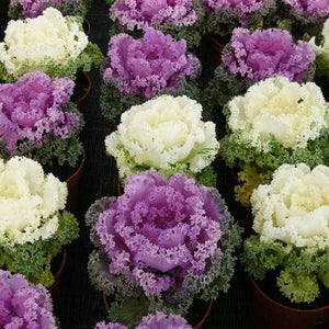KGP- Ornamental Kale - SK Organic Farms