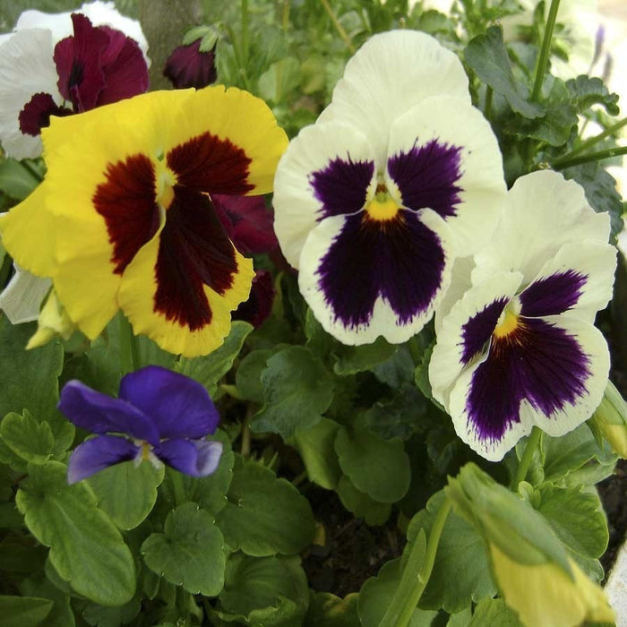 Pansy Swiss Giant Mix