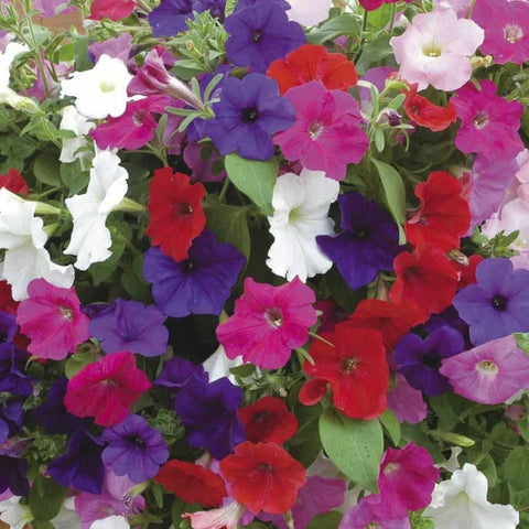 Petunia N C Dwarf Mix-Seeds-Biocarve-SK Organic Farms