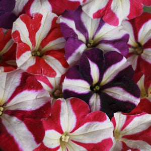 Petunia N C Stars Mix - SK Organic Farms