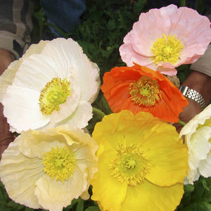 KGP- Iceland Poppy Mix - SK Organic Farms