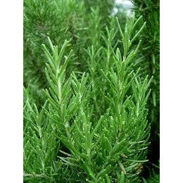 Rosemary - ( no shipping , store pick up or Home Delivery option only )-Herbal Plant-SK Nursery-SK Organic Farms