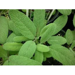 Sage - ( no shipping , store pick up or Home Delivery option only )-Herbal Plant-SK Nursery-SK Organic Farms