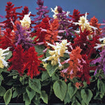 Salvia Splendens F1 Mix-Seeds-BioCarve-SK Organic Farms
