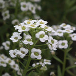 KGP- Alyssum Sweet White-Seeds-Biocarve-SK Organic Farms