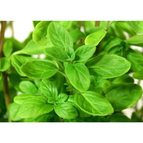 Marjoram - ( no shipping , store pick up or Home Delivery option only )-Herbal Plant-SK Nursery-SK Organic Farms